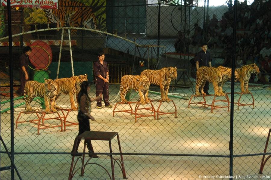 Шоу тигров в Таиланде