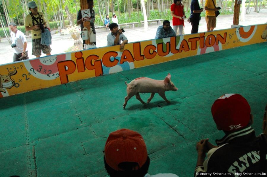 Звери в тайском парке тигров и видео забега свиней